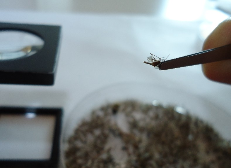Attività di determinazione di zanzare catturate in fase di monitoraggio