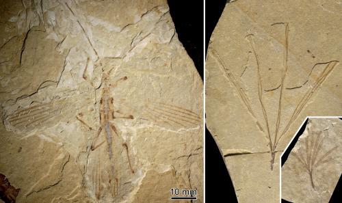 Cretophasmomima melanogramma a sinistra e Membranifolia admirabilis a destra. Crediti: sinistra: O. Béthoux, destra: F. Jacques.